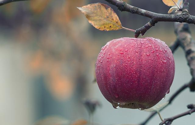 orosené jablko