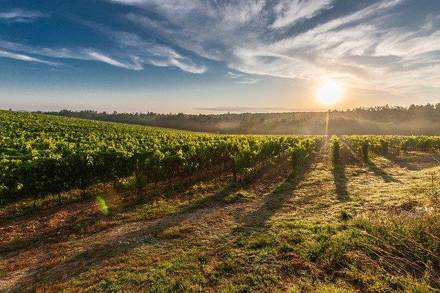 vinice toskánska